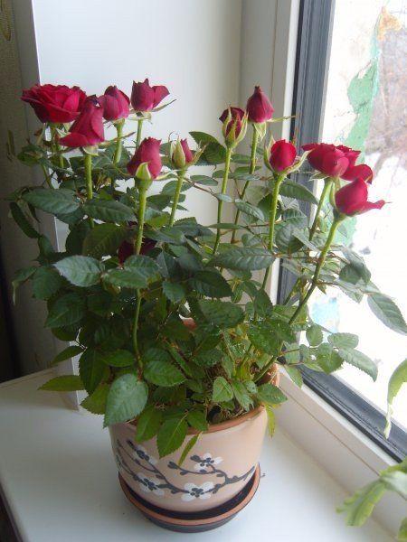 СРЕДСТВО ДЛЯ СПАСЕНИЯ КОМНАТНЫХ ЦВЕТОВ Все больные и плохо развивающиеся растения поливать следующим раствором: 1`яичный белок залить в 1 стаканом теплой воды настоять неделю. Затем развести в 2 л. воды. Если цветов много разведите 5-6 яичных белков залейте 1 л теплой воды и настаивайте неделю. Затем развести в 10 л воды. Запах раствора не совсем приятный. Результат потрясающий: мои цветочки будто отведали эликсира молодости - листья заблестели, пошла молодая поросль.