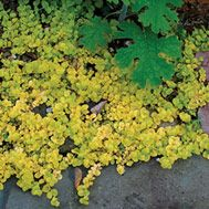 Creeping Jenny, Moneywart / Full sun to Part Shade / For containers / Ground cover / Spread over 30 ft.