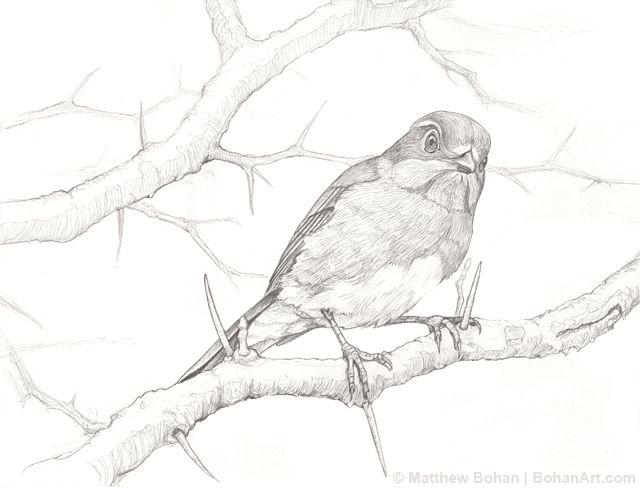 female bluebird on hawthorn