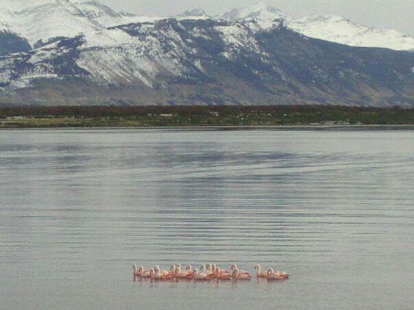 Flamingos en Puerto Natales