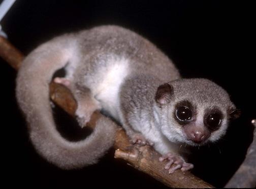 cheirogaleus medius the fat tailed dwarf lemur and microcebus murinus the gray