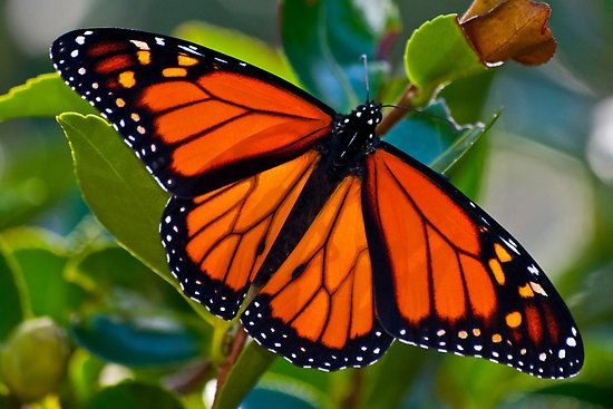 Monarch Butterflies.  Yes, I know it's not a bird but they are stopping by for a break over Thanksgiving.