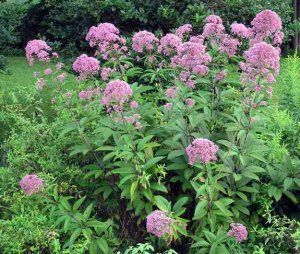 sweet-joe-pye-weed