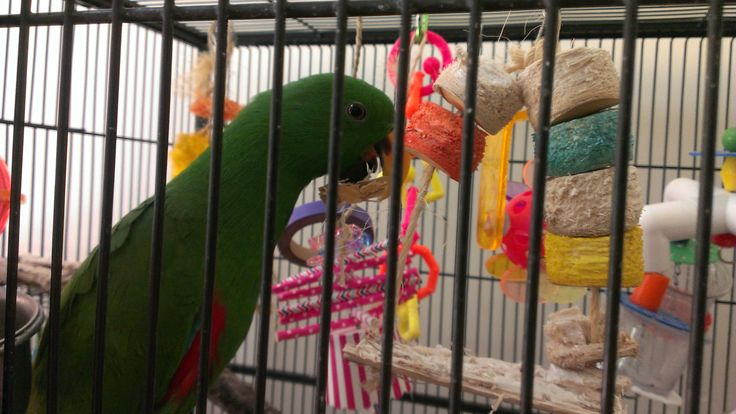 Thanks to Carlie for this beautiful picture! :)  Really glad to see that he's enjoying our Bird Kabob Favorito. Happy chewing ;)  Check out the Bird Kabob Favorito here: http://www.shop4pets.com.au/97_dash_20077/BIRD-KABOB-_dash_-FAVORITO-%28cm-33L-x-12W%29/pd.php