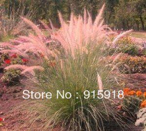 Семена трав розовое шампанское декоративные травы 100 семена редкий
