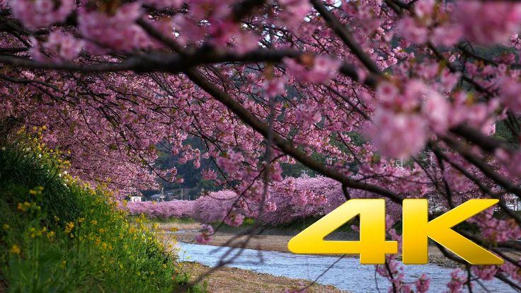Kawazu Sakura Festival - 河津桜祭り- 4K Ultra HD
