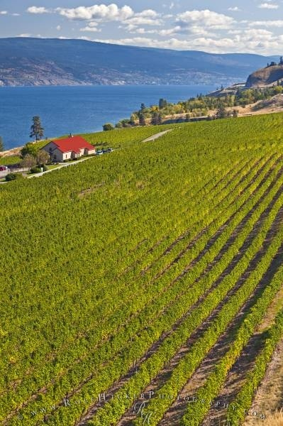 Greata Ranch Estate Winery vineyard on the shores of Okanagan Lake, Okanagan, British Columbia, Canada.