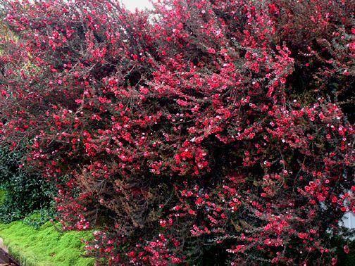 Full size picture of New Zealand Tea Tree, New Zealand Tea Bush, Manuka (Leptospermum scoparium) leptospermum scoparium