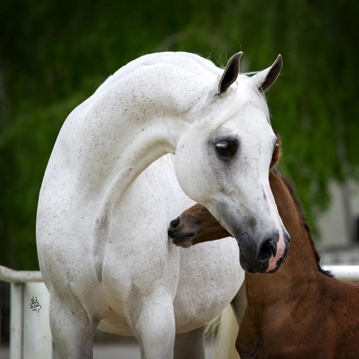 EGZONERA, exquisite Polish bred mare   Arabian Polish ...