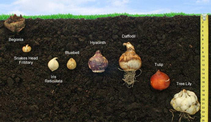 Bulb planting depths vary depending on their size and species; but as a rule of thumb, most bulbs can be planted at a depth of approximately 3 times their own height.