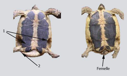 Site d'information destiné à la tortue terrestre, tortue de terre Graeca, Herman, tortue de terre : La tortue Hermann / Graeca