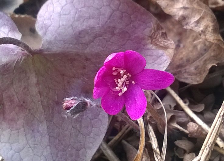 Pink Hepatica, so beautiful