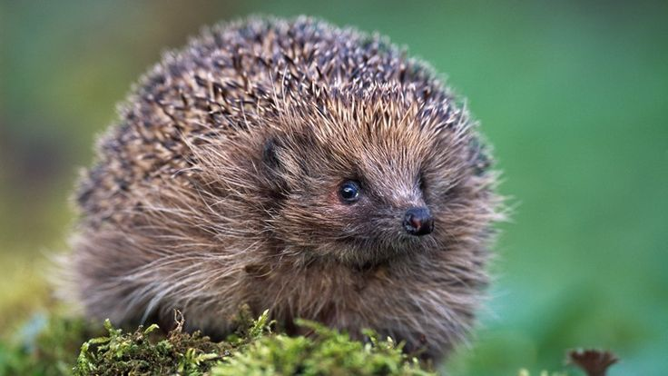 Hedgehogs, I've been reliably informed by our pastors wife that there aren't hedgehogs in michigan!