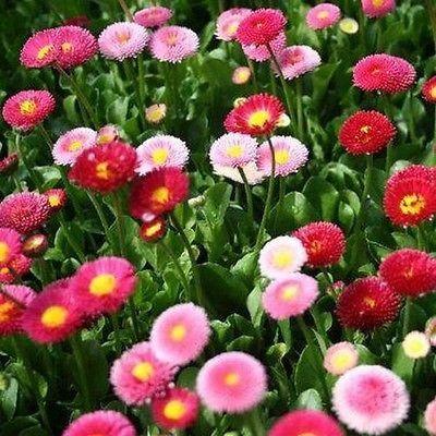 English Daisy Mix Flower Seeds (Bellis Perennis) 200+Seeds - Under The Sun Seeds  - 2