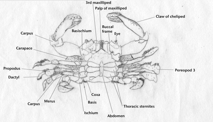 Xena Crabs 108 best Crusta...