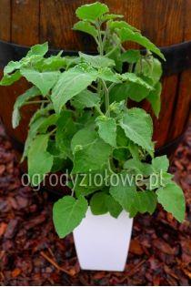 Rodzynek Brazylijski Ogrody Ziolowe Herbs Parsley