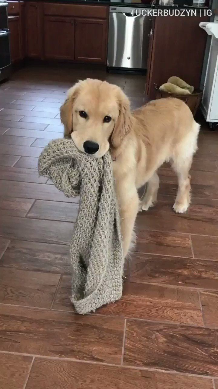 Tucker Budzyn Tuckerbudzyn Twitter Golden Retriever Funny