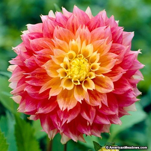 5209 best Colors of Dahlias images on Pinterest Flowers Dahlia