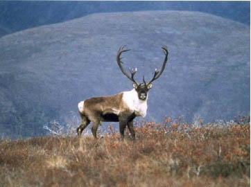 Northern Mountain Caribou