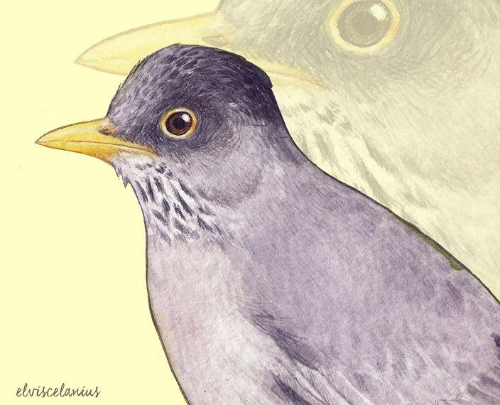 Turdus Falcklandii Magellanicus by Elviscelanius