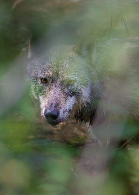 Wolf in Hyder, Alaska #greetingcard #sale #wildlifegreetingcard