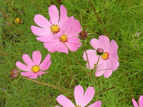 Cosmos (Cosmos), fleur du jardin