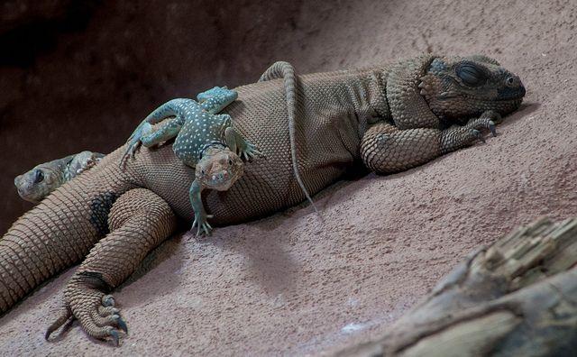 reptiglo:  Halsbandleguan & Stachel-Chuckwalla - Common Collared Lizard & Angel Island Chuckwalla by Goldstern82 on Flickr.