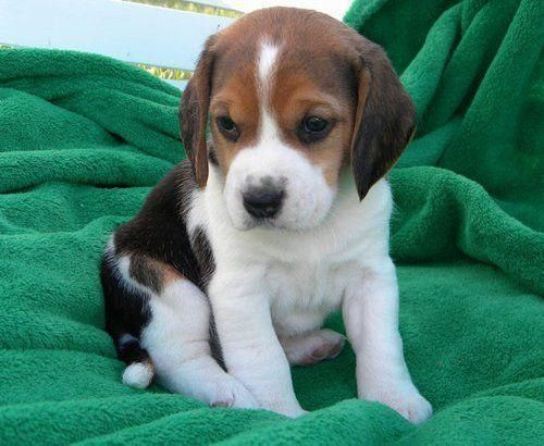 Beagle Pup---Saw a sweet baby just like this one outside of Starbucks.  So sweet!