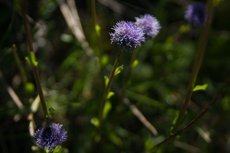 #Globulaire #allongée - #Globularia #bisnagarica L. - Espèce protégée en Basse-Normandie et en Pays-de-la-Loire.