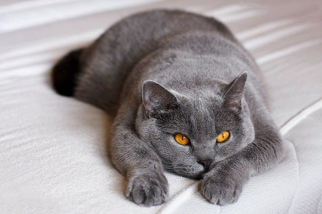 Pin De Hendelsk Em Animal Pet Gato De Pelo Curto Inglês Gatos Pelo Curto Inglês