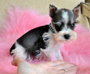 Toy Miniature Schnauzer 1.4 pounds at 8 weeks.