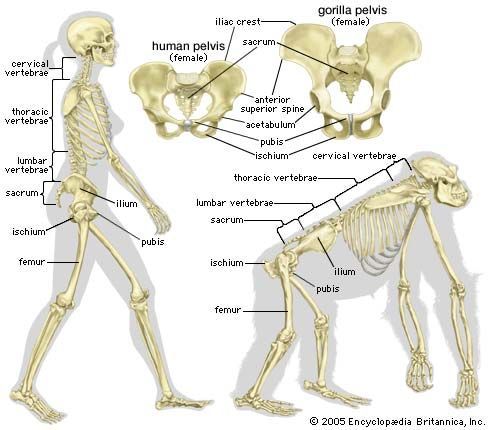 18 best images about skin & bones: bone structure on pinterest, Skeleton