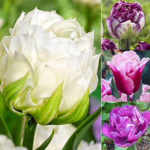 Nice Adorable Flower Fragrant Seeds Fragrant Blooms Colorful