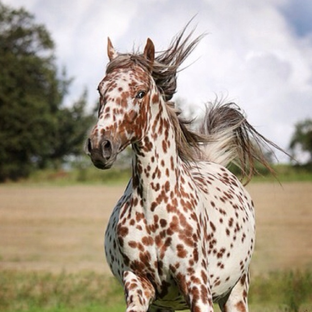 you can always trust a spotted horse