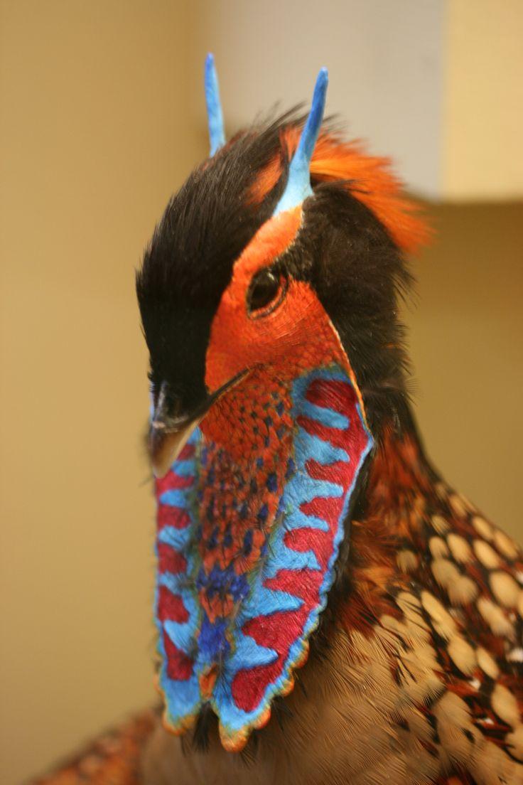 El tragopán de Cabot o tragopán chino (Tragopan caboti) En época de cría, de marzo a junio, los machos se involucran en espectaculares exhibiciones de cortejo.
