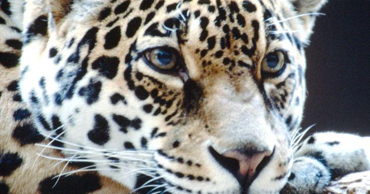 ¿Quién se come a los leopardos adultos?. El leopardo, y sus varias subespecies, vive en África, India, China y Rusia. En toda esta amplia gama está entre los primeros depredadores y raramente es cazado por otros animales a excepción del humano. Muchas especies en este rango, con su tamaño superior o número, pueden matar a un leopardo adulto. Ningún animal salvaje caza activamente al ...