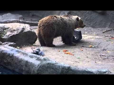 Un ours brun sauve un corbeau de la noyade dans le zoo de Budapest - YouTube