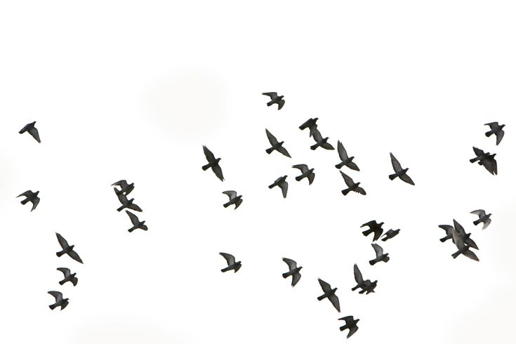 birds flying - Google Search