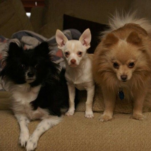 150 best dog grooming images on pinterest dog grooming dog my dogs two pomeranians and in the middle half wawa and pomeranian solutioingenieria Choice Image