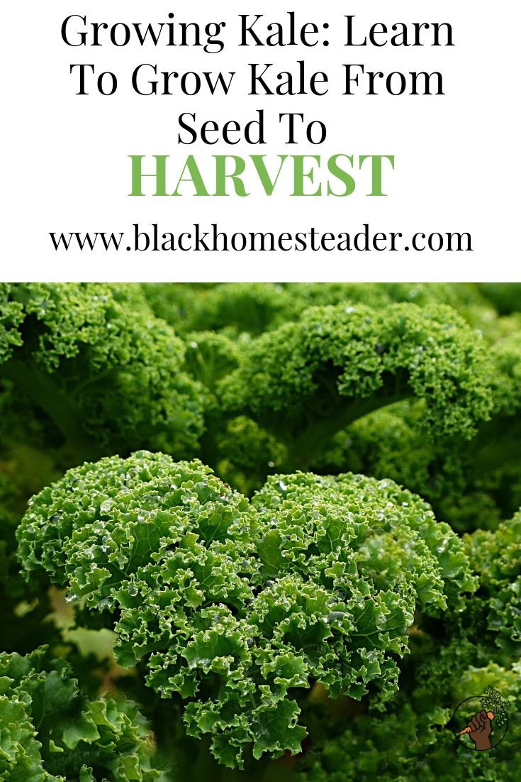 Growing kale learn to grow kale from seed to harvest