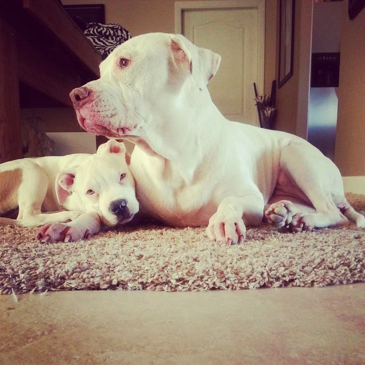 Fact#3 of the 5 Interesting Facts about Pit Bulls :)