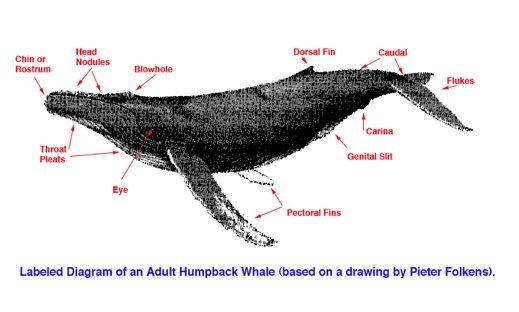 Adult humpback whale anatomy diagram | Biology | Whale ...