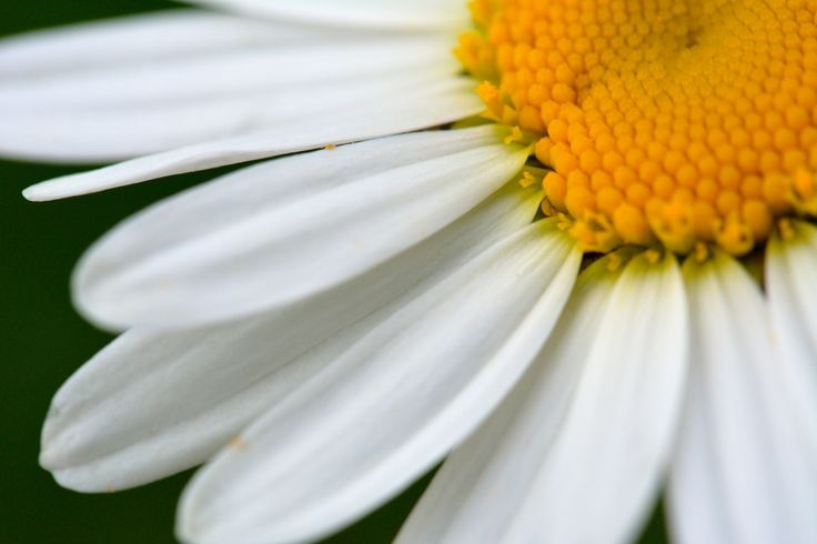 Camomile close up by Bogdan  on 500px