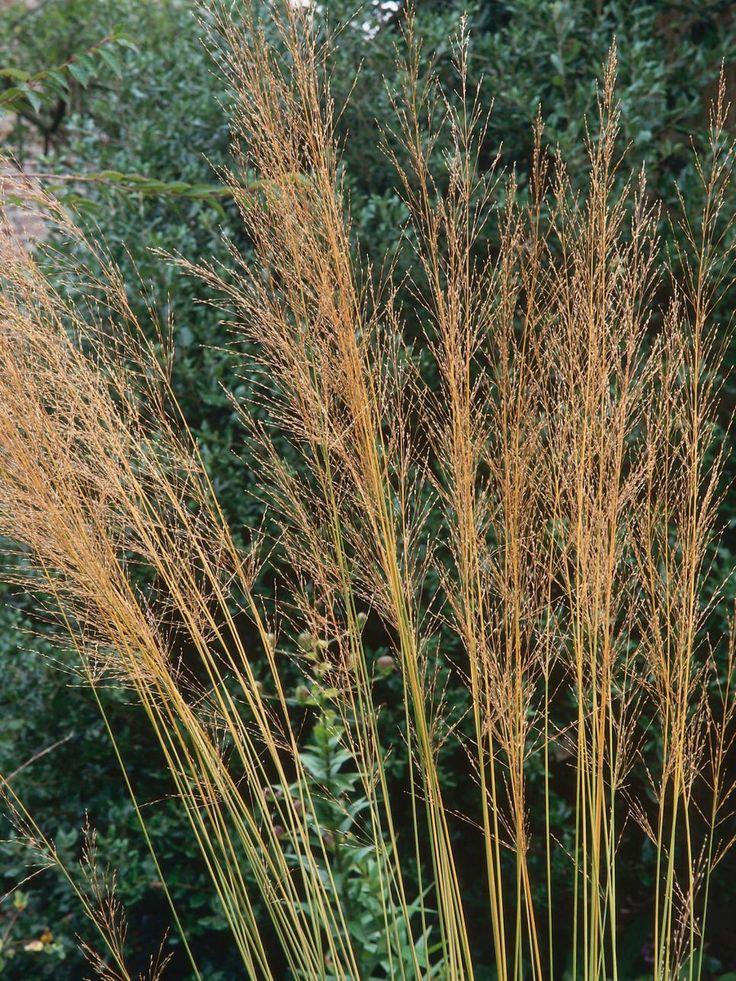 529 best gardening ornamental grasses images on for Ornamental oat grass varieties
