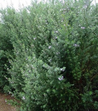 "WESTRINGIA ""WES01"" Naringa PBR Common Name: Australian Rosemary Mature Plant Size: 2m high , 80cm wide This is the best Westringia for hedging as it keeps its form. Lovely lilac flowers are produced during spring."