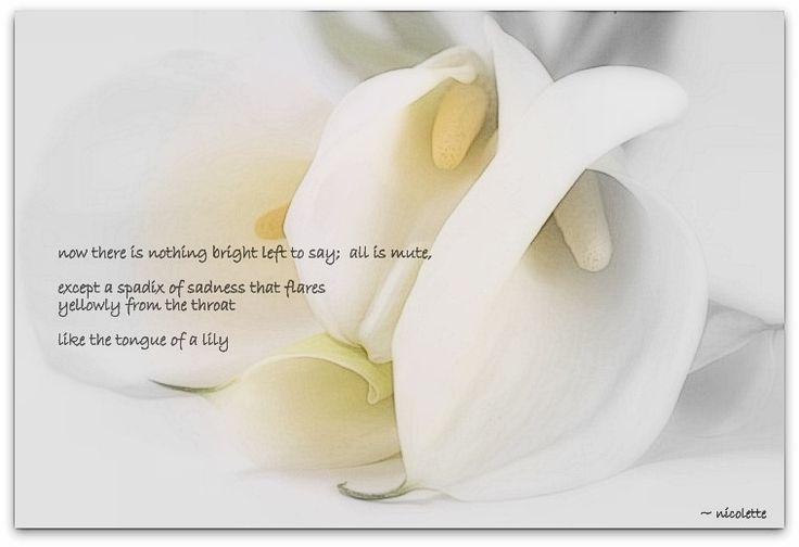 Cally lily © Nicolette van der Walt