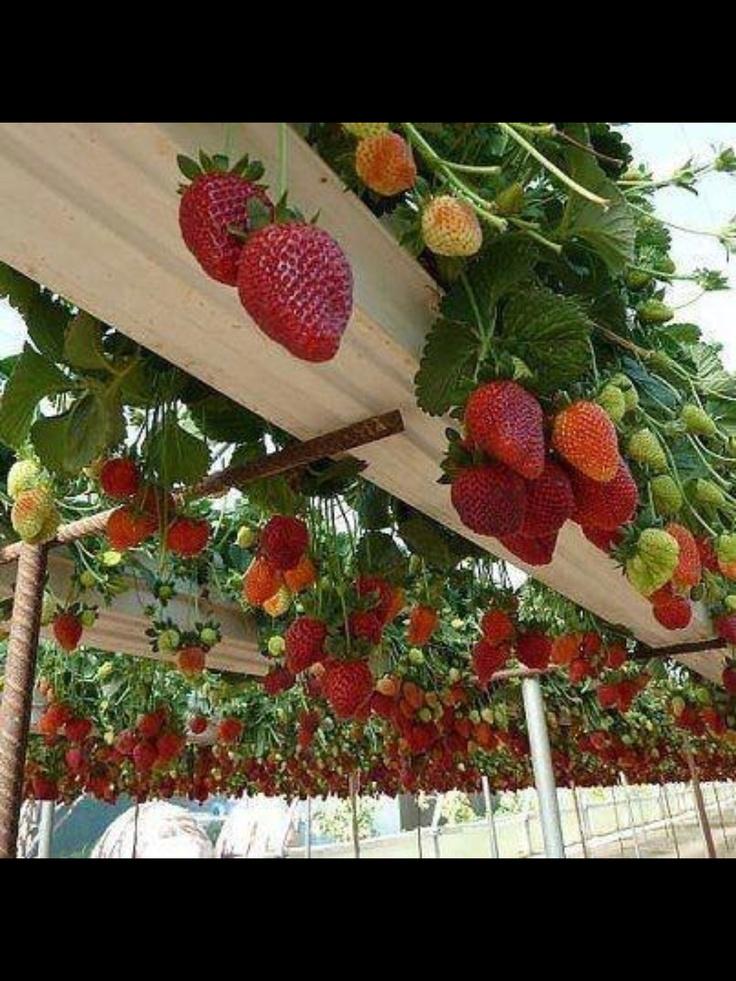 Hanging strawberries!