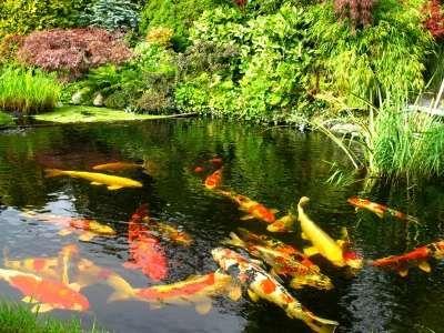 Garden fish pond for Koi