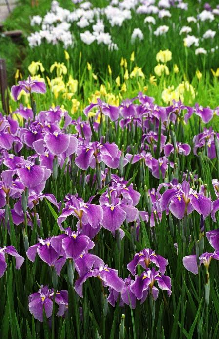 Beautiful Irises in purple, yellow and white. The small amount of yellow and white really makes the purple sing a Verdi aria. The green is great counterpoint.