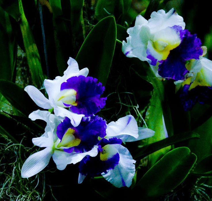 Blue white cattleya chua chinleng flowers orchids